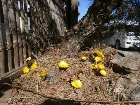 我が家の松の木の下の福寿草開花