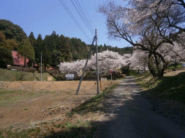 安善寺のシダレ桜開花状況