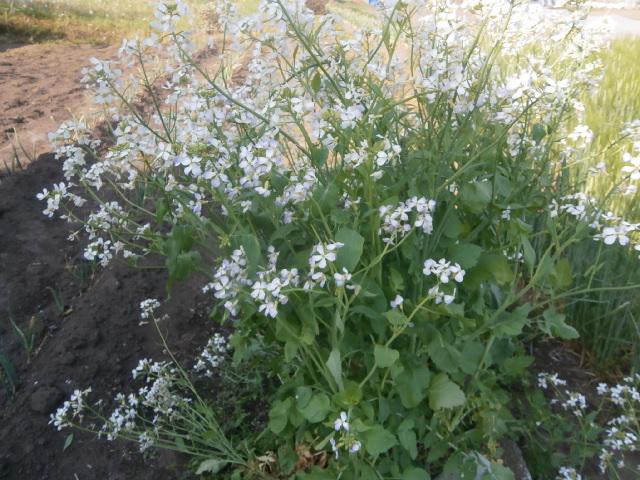 大根花の収穫おつまみサラダ