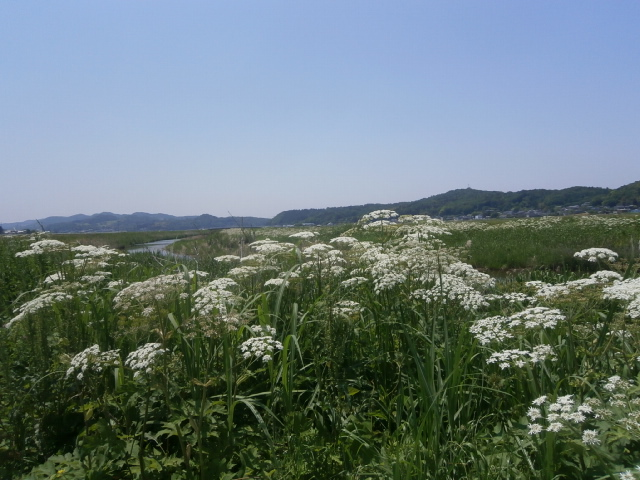 花ウド(花独活)満開|小貝川堤防