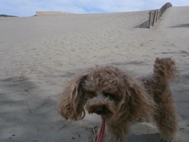 旅行中の愛犬散歩|静岡県御前崎市浜岡砂丘