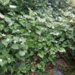ドクダミ開花|薬効あり健康維持