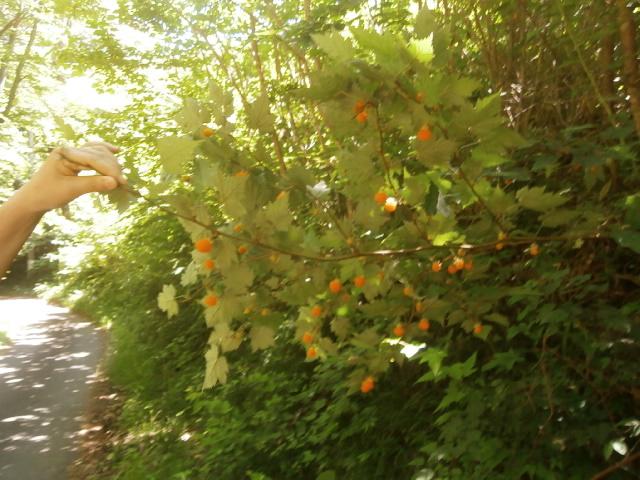 紅葉いちご(モミジイチゴ)食べ放題|長和町