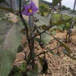 キュウリ・茄・シシトウ開花し実る
