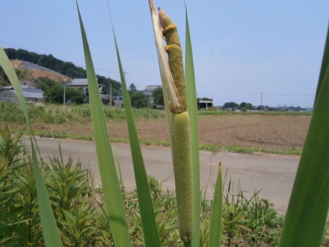 がまの花(蒲の穂)