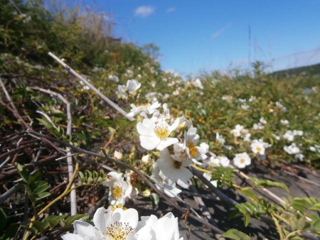 イバラの花|小貝川堤防