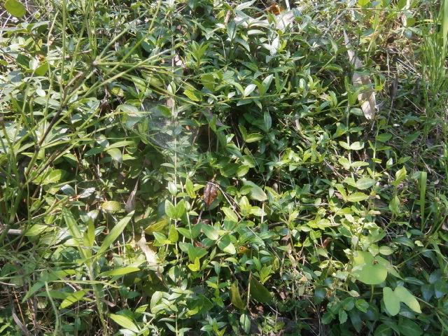 ヒメツルニチニチソウ|繁殖中