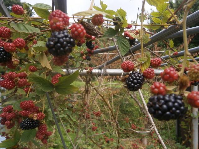 ブラックベリーとブルーベリー収穫|2017初回