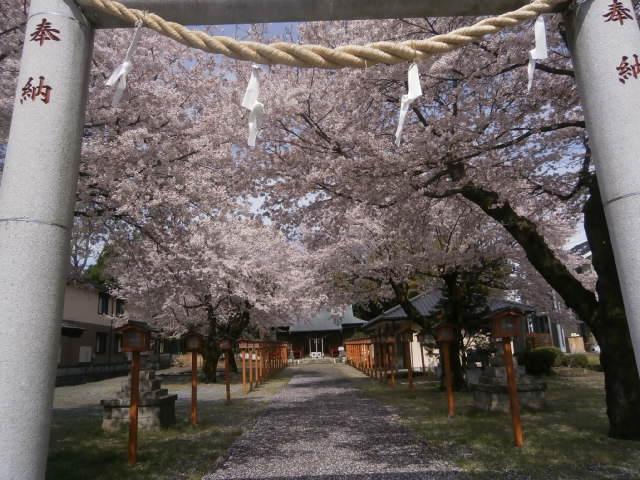 小山市方面桜開花情報