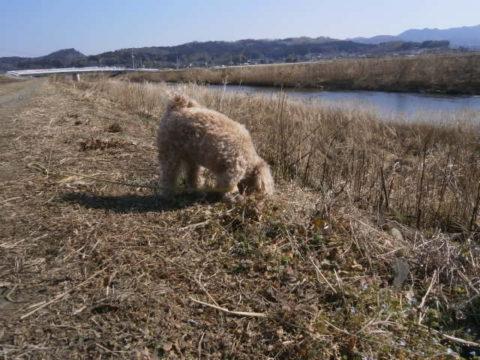 小貝川堤防散歩